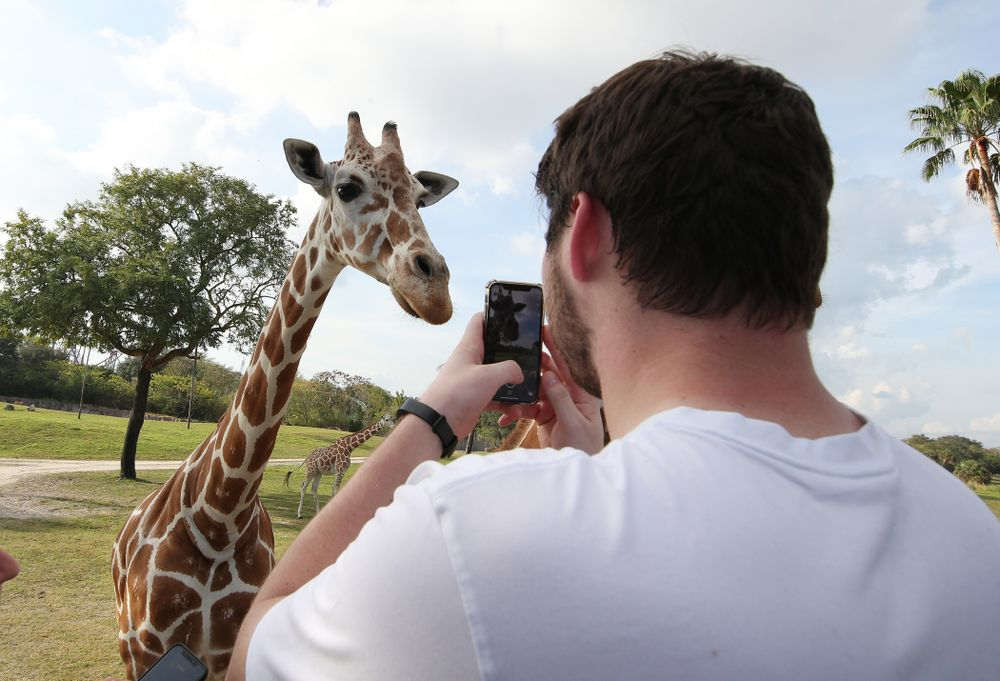 Iowa Hawkeyes defensive lineman Jack Kallenberger (97) takes a photo of a giraffe during an Outback Bowl team event Saturday, December 29, 2018 at Busch Gardens in Tampa, FL. (Brian Ray/hawkeyesports.com)