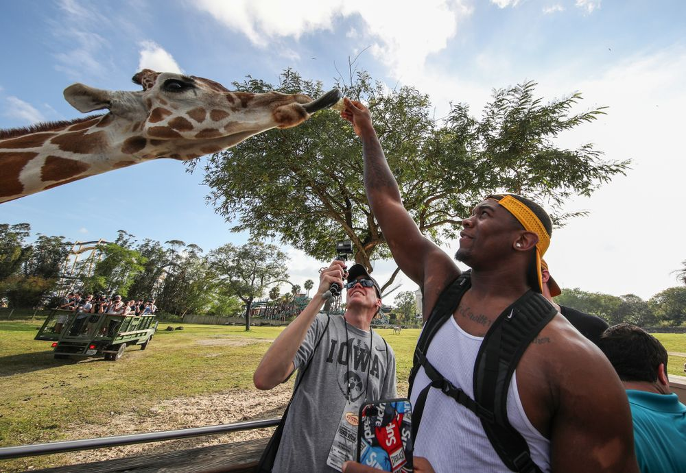 Iowa Hawkeyes defensive end Chauncey Golston (57) feeds a giraffe during an Outback Bowl team event Saturday, December 29, 2018 at Busch Gardens in Tampa, FL. (Brian Ray/hawkeyesports.com)