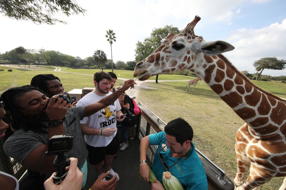 Iowa Hawkeyes defensive back Devonte Young (17) feeds giraffes during an Outback Bowl team event Saturday, December 29, 2018 at Busch Gardens in Tampa, FL. (Brian Ray/hawkeyesports.com)