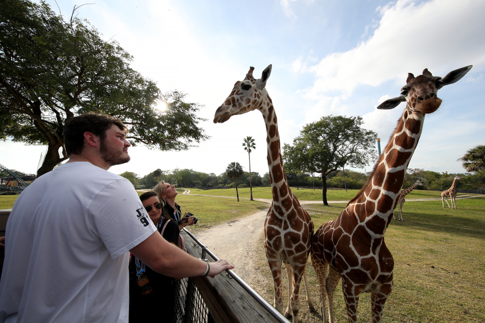 Iowa Hawkeyes defensive lineman Jack Kallenberger (97) feeds giraffes during an Outback Bowl team event Saturday, December 29, 2018 at Busch Gardens in Tampa, FL. (Brian Ray/hawkeyesports.com)