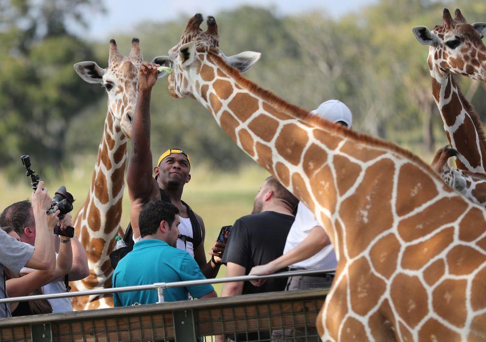 Iowa Hawkeyes defensive end Chauncey Golston (57) feeds a giraffe during an Outback Bowl team event Saturday, December 29, 2018 at Busch Gardens in Tampa, FL. (Darren Miller/hawkeyesports.com)