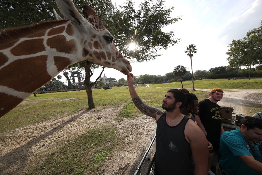 Iowa Hawkeyes defensive end A.J. Epenesa (94) feeds a giraffe during an Outback Bowl team event Saturday, December 29, 2018 at Busch Gardens in Tampa, FL. (Brian Ray/hawkeyesports.com)